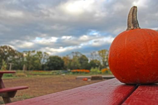Pumpkin Picking at the Decker Farm